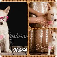 Adopt A Pet :: Nikita - DOVER, OH