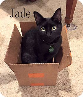 Domestic Shorthair Cat for adoption in Wichita Falls, Texas - Jade