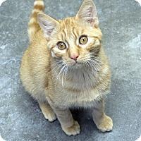 Domestic Shorthair Kitten for adoption in Fremont, Nebraska - Oscar