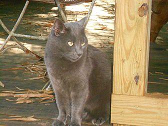 Domestic Shorthair Cat for adoption in Bonita Springs, Florida - Gigi