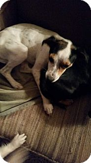 Jack Russell Terrier/Dachshund Mix Dog for adoption in Shaw AFB, South Carolina - Manx and Princess