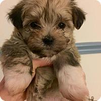 Adopt A Pet :: Havanese Puppies - Pittsburgh, PA