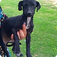 Adopt A Pet :: Nanu - Aurora, CO