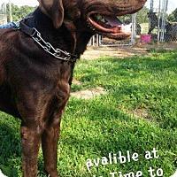 Adopt A Pet :: Bear - Foristell, MO