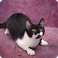 Adopt A Pet :: Midnight - Harrisonburg, VA