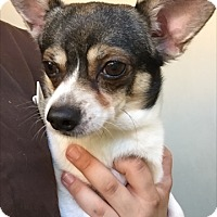 Jack Russell Terrier/Chihuahua Mix Dog for adoption in Westminster, California - Boonie
