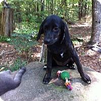Adopt A Pet :: Crisy - Manchester, NH