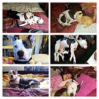 American Pit Bull Terrier Mix Dog for adoption in Sonoma, California - George