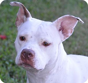 American Pit Bull Terrier Dog for adoption in Englewood, Florida - Dixie
