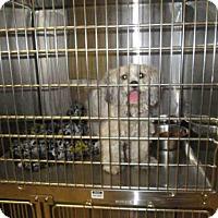 Adopt A Pet :: LOVE BUG - Olivette, MO