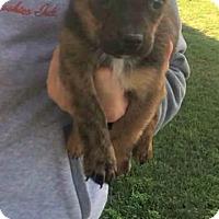 Adopt A Pet :: Shane - Modesto, CA