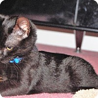 Domestic Shorthair Kitten for adoption in St.Ann, Missouri - Tai