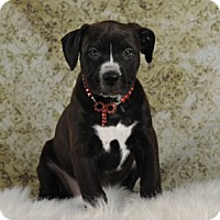 Adopt A Pet :: Slinkie's Beanie aka Matella - Las Vegas, NV