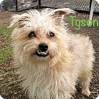 Adopt A Pet :: Tyson - El Cajon, CA