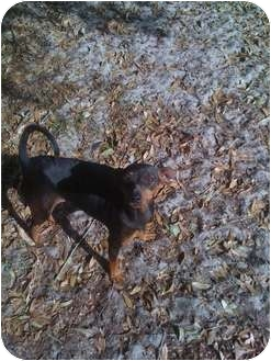 Manchester Terrier Dog for adoption in Orlando, Florida - Willow