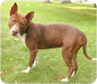 Bull Terrier/Rhodesian Ridgeback Mix Dog for adoption in Chicago, Illinois - Sassy