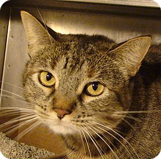 Domestic Shorthair Cat for adoption in El Cajon, California - Nancy