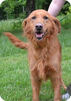 Golden Retriever Dog for adoption in White River Junction, Vermont - Dutchess