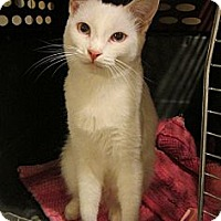 Domestic Shorthair Cat for adoption in Long Beach, California - Sabrina