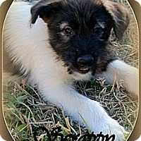 Adopt A Pet :: SCRAPPY - TOMBALL, TX