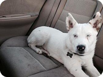 Australian Cattle Dog Puppy for adoption in Marina del Rey, California - Olick