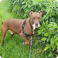 Adopt A Pet :: Dually - Lima, OH