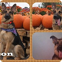 Adopt A Pet :: Falcon - DOVER, OH