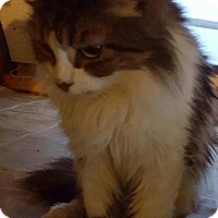 Domestic Mediumhair Cat for adoption in New Bedford, Massachusetts - Puddin