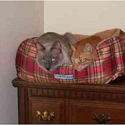 Photo 1 - Siamese Cat for adoption in Austin, Texas - Douglas