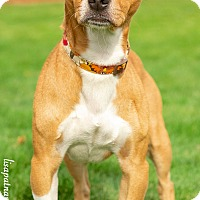 Adopt A Pet :: Opie - Worcester, MA