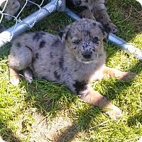 Adopt A Pet :: Rain - Waller, TX