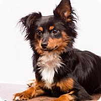Adopt A Pet :: Possum - MEET ME - Norwalk, CT