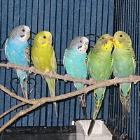 Adopt A Pet :: Parakeets - Independence, KY