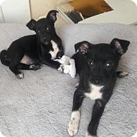 Adopt A Pet :: Cookie - Willingboro, NJ