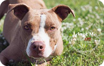 Pit Bull Terrier Mix Dog for adoption in Broken Arrow, Oklahoma - Diddy