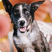 Adopt A Pet :: Cash - Portland, OR