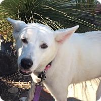 Shepherd (Unknown Type) Mix Dog for adoption in pasadena, California - NADIA