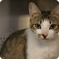 Domestic Shorthair Cat for adoption in Sarasota, Florida - Crumpet