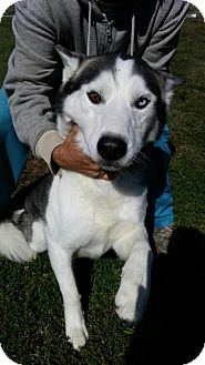 Siberian Husky Dog for adoption in Bristol, Virginia - Aries