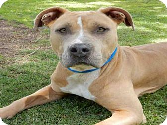 Pit Bull Terrier Mix Dog for adoption in Upland, California - RITA