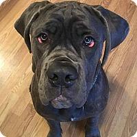 Adopt A Pet :: Diesel - Phoenxville, PA