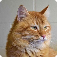 Domestic Longhair Cat for adoption in Sierra Vista, Arizona - Cheeto