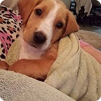 Adopt A Pet :: Bernard - Houston, TX