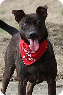Labrador Retriever/Feist Mix Dog for adoption in Bardstown, Kentucky - Mac