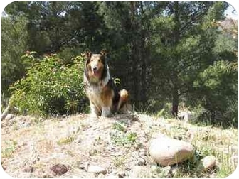Collie Dog for adoption in Trabuco Canyon, California - Hestia