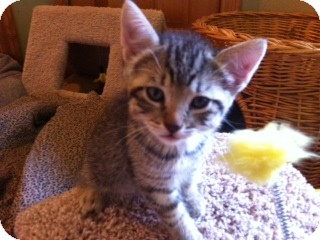 American Shorthair Kitten for adoption in Weatherford, Texas - Diesel