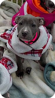 American Pit Bull Terrier Puppy for adoption in Killen, Alabama - Isabel
