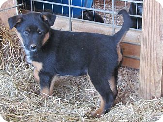 Australian Cattle Dog/Labrador Retriever Mix Puppy for adoption in Humboldt, Tennessee - BRILEE