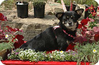 Shiba Inu/Pekingese Mix Dog for adoption in Ft. Collins, Colorado - Skittles