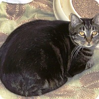 Domestic Shorthair Cat for adoption in Alden, Iowa - Rowan